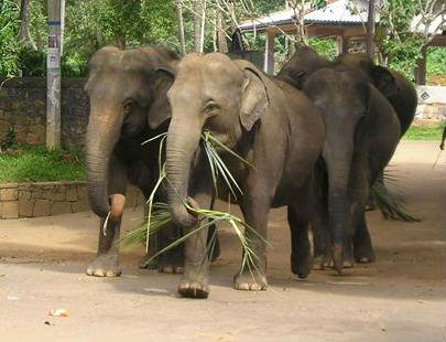 Elephant sanctuary in Sri Lanka. Consider ethical tourism when booking a holiday in Sri Lanka.