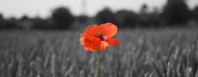 Poppy in a wheat field