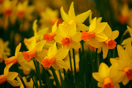 daffodils. microsoft word