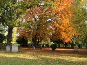 Beech in churchyard