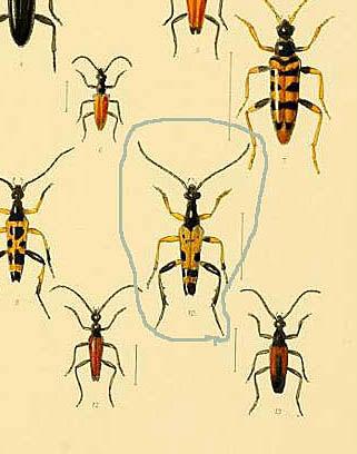 Beetle in Fowler's book