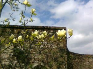 Cream Magnolias