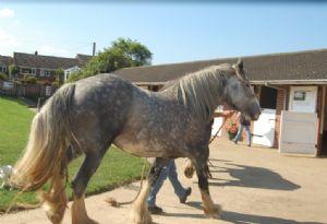 Hillside Shire Horse Sanctuary