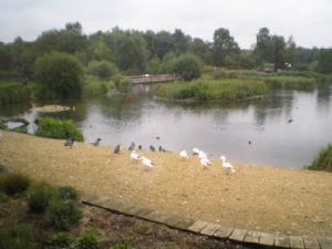Wild Fowl  Wetland Trust
