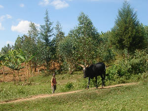 Small boy with cow