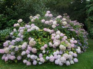 Rhodedendron Lilac