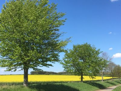 Trees by rapeseed field