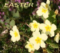 Easter Primroses