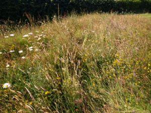 Wildflower Meadow June 2018