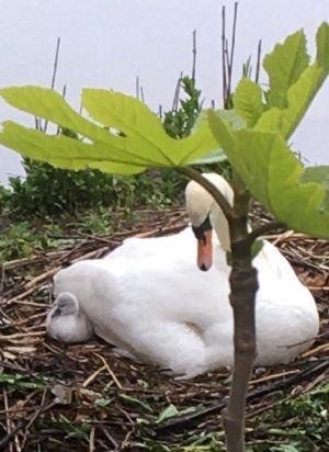 Mother swan and cygnet in Bradford on Avon