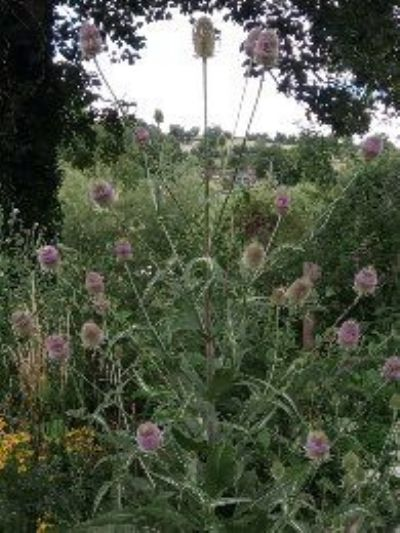 Teasels Avoncliff