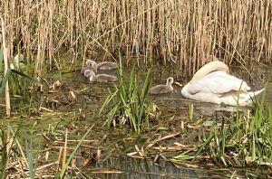 Swan family in Biss Meadows, Trowbridge
