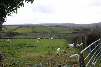 Sheep at Burnfoot, Co. Donegal from the former home of Mae Brown, nee McClay