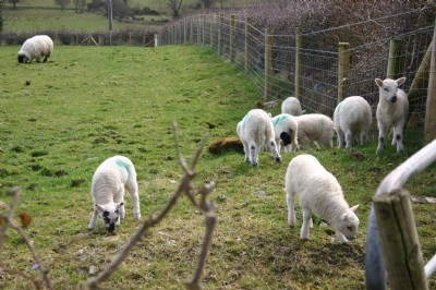 Lambs at Burnfoot, Co. Donegal from the former home of Mae Brown, nee McClay