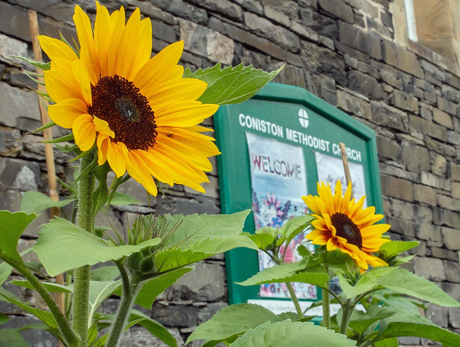 Sunflowers at Coniston