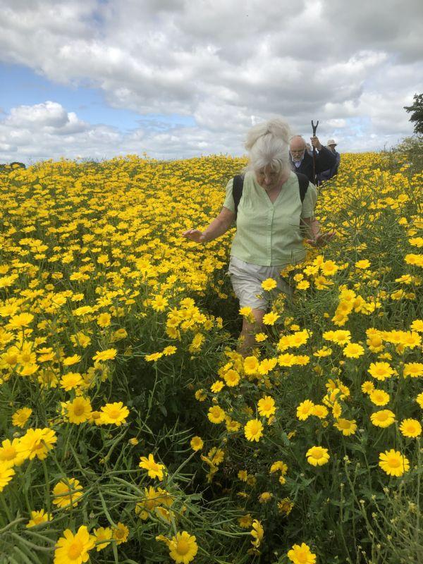 Pilgrims walking through chrysanthemums