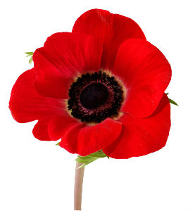 Poppy for remembrance