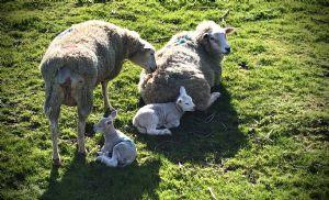 Sheep hear My Voice