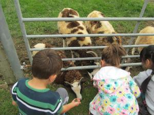 feeding the Jacob's Sheep