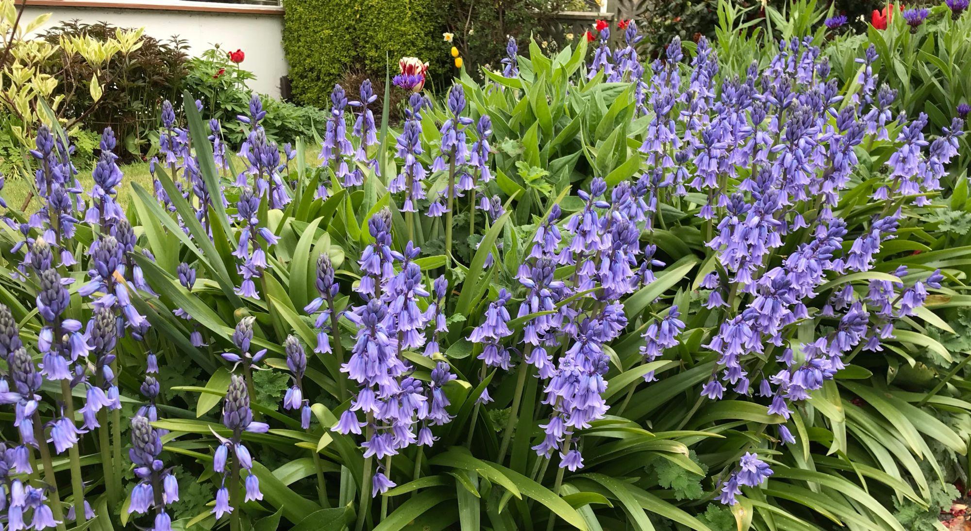 Bluebells at Nordlys
