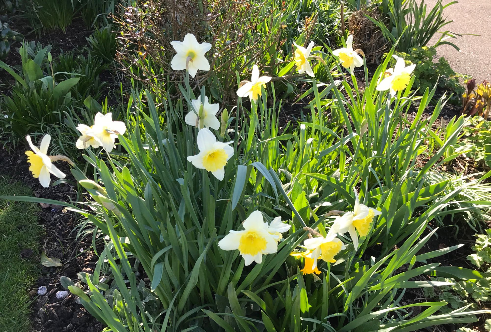Daffodils for Easter Sunday