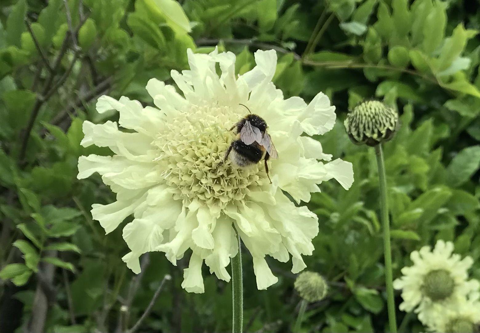 Shiton Bee