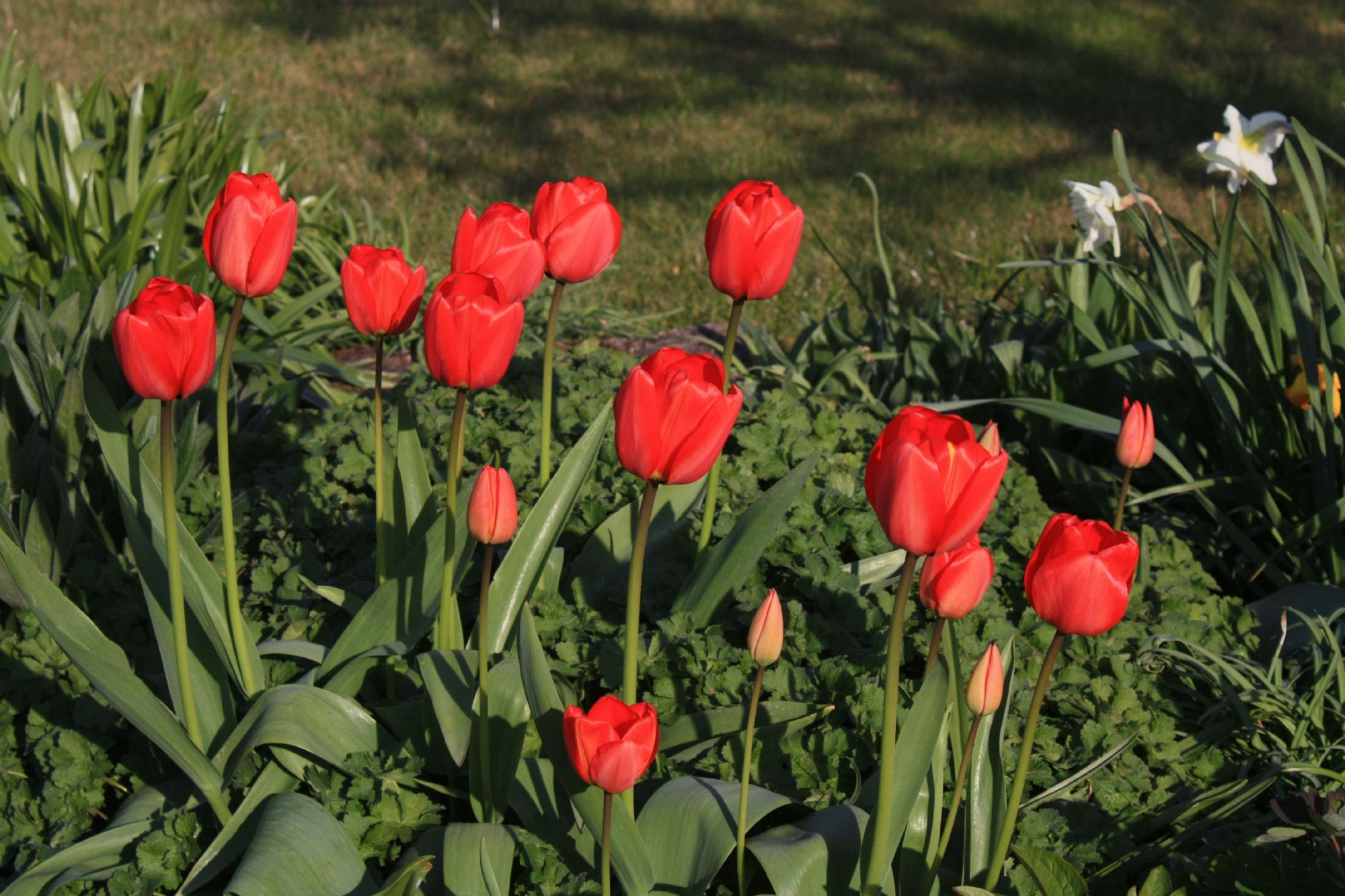 Red Tulips at Nordlys