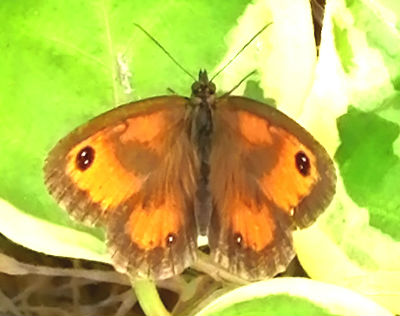 Gatekeeper - male