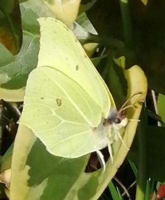 Brimstone Butterfly - 22 March 2020