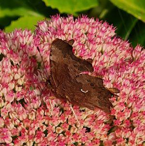 Comma butterfly - underside