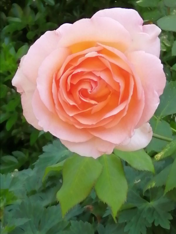 Rose Apricot