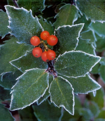 Christmas - Holly  berries