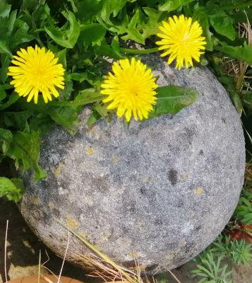 Dandelions & Stone