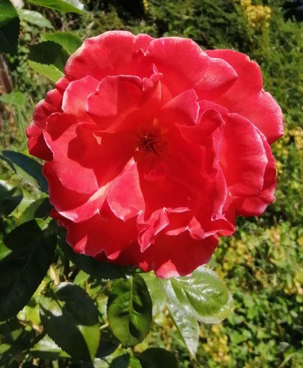 Rose Red 2