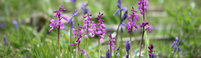 Early Purple Orchids  Blue Bells