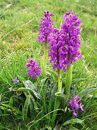 Early Purple Orchid - group