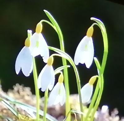 Snowdrop - variety c