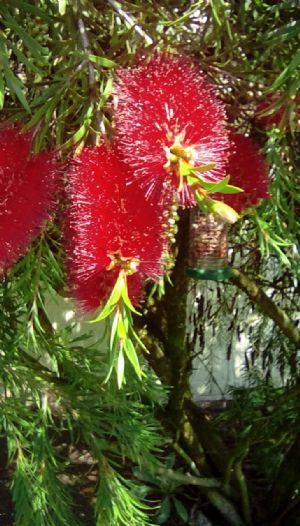 Photograph taken by Wendy Al of their Bottlebrush bush   23/6/20