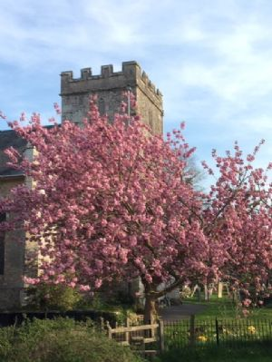 photo taken by Robin of the cherry Blossom at Lytchett Minster Parish Church on 12th April 2020