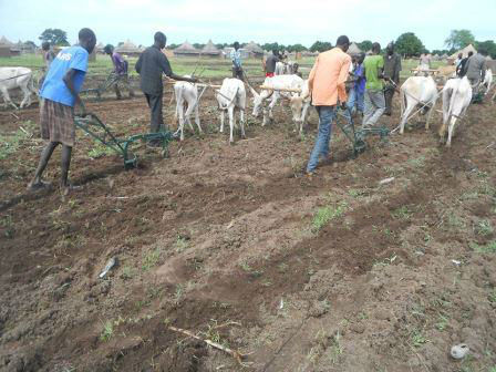 Oxen ploughing in field