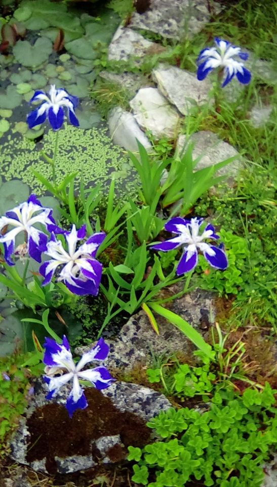 Photograph of Irises by Wendy and Margaret's pond.jpg 7/6/20