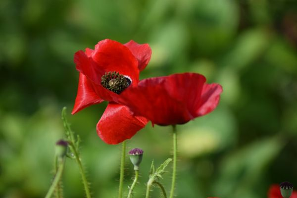 Poppy - remembrance