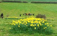 Daffodil cross 2