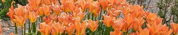 Chelmick panoramic tulips.jpg