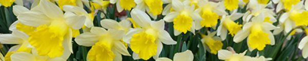 Chelmick daffodils panoramic