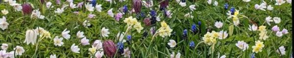 Chelmick panoramic anenomes narcisse and fritilleries.jpg