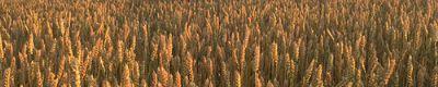 Chelmick panorama wheatfield.jpg
