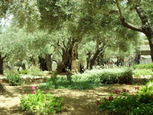 Olive grove in the Garden of Gethsemane