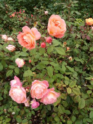 Cliveden Roses