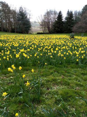 Daffodil Valley 2